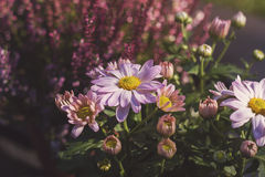 Pink aster flowers Royalty Free Stock Images