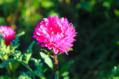 Pink aster in garden Stock Images