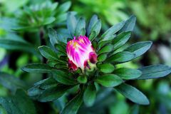 Pink aster in the garden royalty free stock images