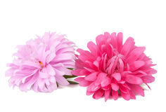 Pink aster isolated Stock Image