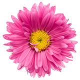 Pink aster isolated Stock Photo