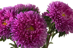 Pink aster isolated over white. Close-up of pink aster isolated over white Royalty Free Stock Photo