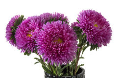 Pink aster isolated over white Royalty Free Stock Photography