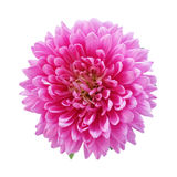 Pink aster isolated on a white background Stock Photos