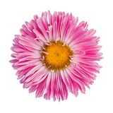 Pink aster. Isolated on white background Royalty Free Stock Image