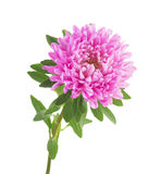 Pink aster isolated on white background Royalty Free Stock Photography