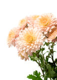 Pink aster on a white background Royalty Free Stock Photo