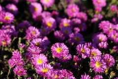 Pink Asters. Numerous pink and yellow asters in a garden Royalty Free Stock Photography
