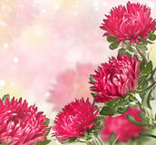 Pink asters with a blurred background Royalty Free Stock Photos