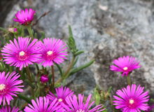 Pink Asters Bordering a Stone Royalty Free Stock Photography