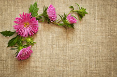 Pink asters on canvas background Stock Image