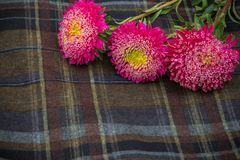 Pink asters. On a checkered dark cloth Royalty Free Stock Image