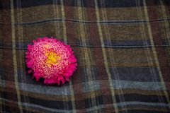 Pink asters. On a checkered dark cloth Stock Photography
