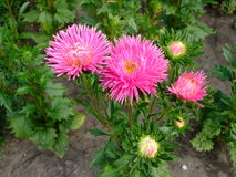 Pink asters flowers in the garden Royalty Free Stock Images
