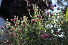 Pink asters in the garden. Asters blossom. In the village in the summer. Beautiful garden in a sunny day Stock Image