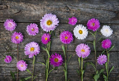 Pink asters royalty free stock photos