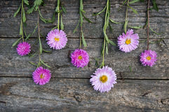 Pink asters royalty free stock photo