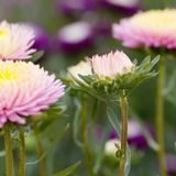 Pink asters in the summer garden. Beautiful bright fluffy pink asters blooming in the summer park stock photo