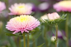 Pink asters in the summer garden. Beautiful bright fluffy pink asters blooming in the summer park royalty free stock image