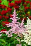 Pink astilba. Pink and white astilba flowers in garden Stock Photo