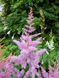 Pink  Astilba hybrid `Rhythm and Blues`  in full bloom Stock Image