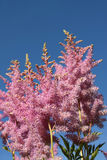 Pink astilbe. On the background of blue sky Royalty Free Stock Photo