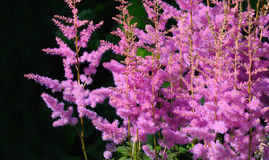 Pink astilbe Arendsii Stock Images