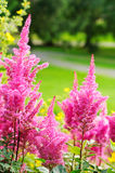Pink Astilbe Arendsii- False Spiraes Stock Images