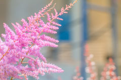 Pink Astilbe Stock Photos