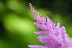 Pink Astilbe flower on green background Stock Image
