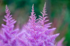 Pink Astilbe flowers closeup Stock Images