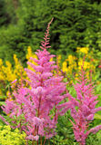 Pink astilbe Stock Photography