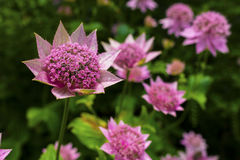 Pink Astrantia flowers. Stock Photography
