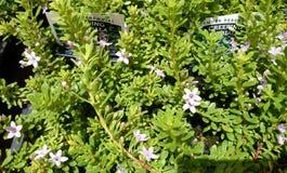 Creeping Myoporum, Myoporum parvifolium Stock Photography