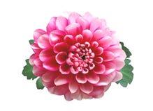 Pink autumn chrysanthemum isolated on white Stock Photos