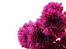 Pink autumn chrysanthemum isolated on a white background Stock Photos
