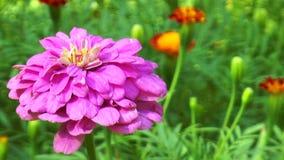 Pink autumn flower stock video