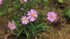 Pink autumn flower Cosmos bipinnatus in the garden. Mexican aster plant in natural environment close-up.  stock footage