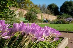 Pink autumn flowering crocus flowers at Eastcote House historic walled garden in Hillingdon London UK