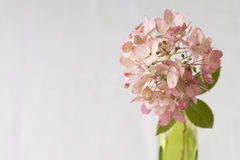 Pink  Autumn Hydrangea Royalty Free Stock Image