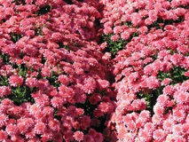 Pink Autumn Mums royalty free stock photography