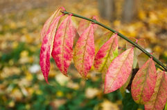 Pink autumnal  leaves Stock Photography