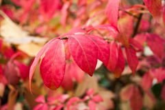 Pink autumnal  leaves Stock Photos