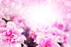 Pink azalea Royalty Free Stock Images