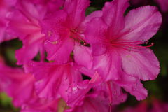 Pink Azalea Royalty Free Stock Photos