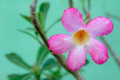 Pink Azalea Background in Flower Garden, Pink Flower royalty free stock photos