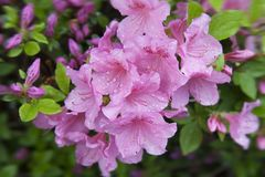 Pink azalea. Beautiful flowers and buds on rhododendron bush in garden. Fresh flowers background or wallpaper. Beautiful spring flowers royalty free stock image