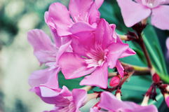 Pink azalea. Beautiful pink azalea in Istanbul Royalty Free Stock Images