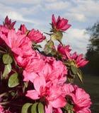 Pink azalea bloom Stock Photography
