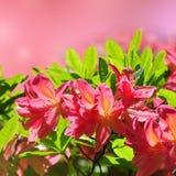 Pink azalea blooming Royalty Free Stock Photos